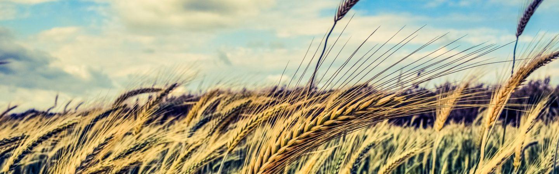 barley-2149860_1920